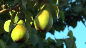 Two green pears stock video