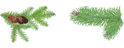 Two green pine branches isolated on white Royalty Free Stock Images