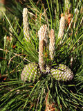 Two green pine cones on the tree Stock Image