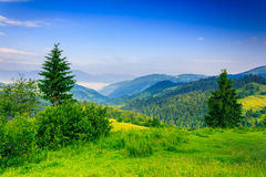 Two green pine tree on meadow in the mountains early morning. Two green pine tree and bush on a green meadow in the mountains in the early morning under a clear Royalty Free Stock Photography