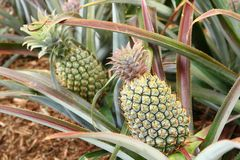 Two Green Pineapples Stock Photo