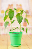 Two green plants of pepper in pot Stock Photography
