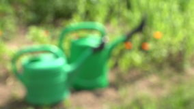 Two green plastic watering cans on garden with marigold. 4K stock footage