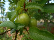 Two green plums Royalty Free Stock Images