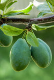 Two green plums hanging from a branch Stock Photography