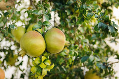 Two green pomegranates on branch Stock Photography
