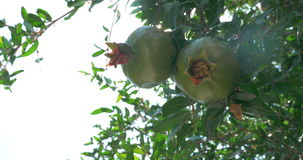 Two Green Pomegranates Closeup. Closeup shot of two green pomegranates on the tree, sun is shining through the leaves stock video footage