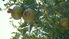Two Green Pomegranates in Sunlight. Slow motion shot of two green pomegranates growing on the branch. They are lit with sunlight stock footage