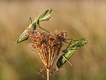 Two green praying mantis sitting on the plant Stock Images
