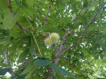 Two green prickly chestnut horse close-up Stock Images