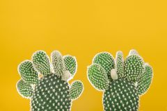 Two prickly pear cactus plants on an yellow background. Two green prickly pear cactus plants on an yellow background Stock Image