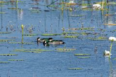 Two Green Pygmy Geese Feeding royalty free stock image