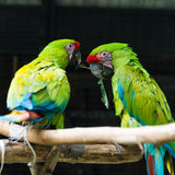 Two green red parrots Stock Photos
