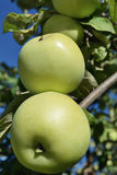 Two green ripe apples on a tree branch closeup Royalty Free Stock Image