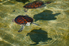 Two green sea turtle in the farm pool Stock Photo
