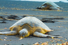 Two green sea turtles Stock Photos