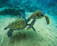 Two Green Sea Turtles Swimming in Maui Hawaii stock images