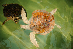 Two Green Sea Turtles under water Royalty Free Stock Photos
