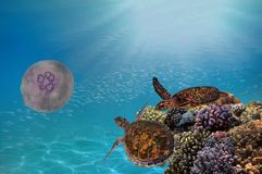 Two green sea turtles underwater. And coral reef. Red Sea Stock Photography