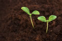 Two green seedlings growing Stock Images