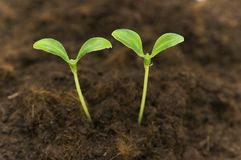 Two green seedlings growing out of soil stock photo