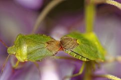 Two green shield bugs copulating, hertfordshire, uk. union stock photo
