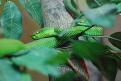Two green snake  Viper Stock Image