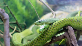 Two green snakes on a tree branch royalty free stock photo