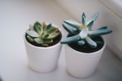 Two Green Succulent Plants Royalty Free Stock Photo