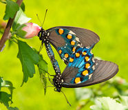 Two Green Swallowtails mating Stock Images