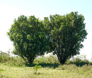 Two green tree Stock Image