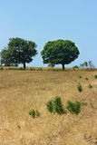 Two green trees on yellow field Royalty Free Stock Photos