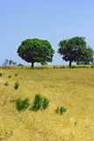 Two green trees on yellow field Royalty Free Stock Images