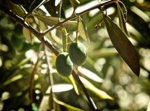 Olives tree. Two green unrepentant olives hanging on tree in California Stock Photography