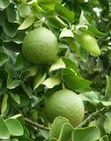 Two green unripe grapefruits Stock Photos