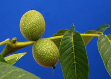 Two green unripe organic walnuts Stock Photo