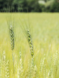 Two green unripe wheat ears. Green wheat ears close-up Vector Illustration
