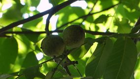 Two green walnut. Swaying in the wind stock video footage