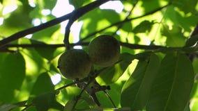 Two green walnut stock video footage