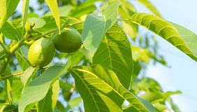 Two green walnuts. On a branch with leaves Royalty Free Stock Image