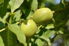 Two green walnuts (Juglans regia) Royalty Free Stock Photo