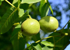 Two green walnuts (Juglans regia) Stock Photography