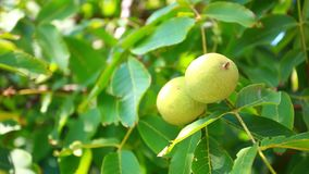 Two green walnuts on the tree. HD. 1920x1080. Two green walnuts on the tree stock video footage