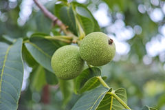 Two green walnuts Stock Photo