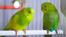 Two green wavy parrot in a cage. Close up stock video