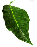 Two Green and wet leaves. Isolated Royalty Free Stock Images