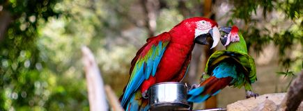 Free Two Green-winged Macaws Outdoors Stock Photo - 160527570