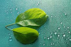 Two green young leaf Apple trees and water drops on green backgr. Ound ecology concept Royalty Free Stock Photography
