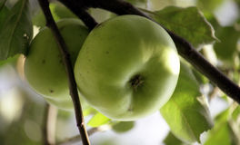 Two greencooking apples on a tree Stock Photos
