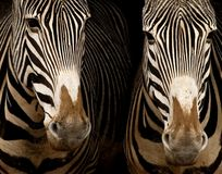 Two Grevy's Zebras. Close-up of two Grevy's Zebras Stock Photography